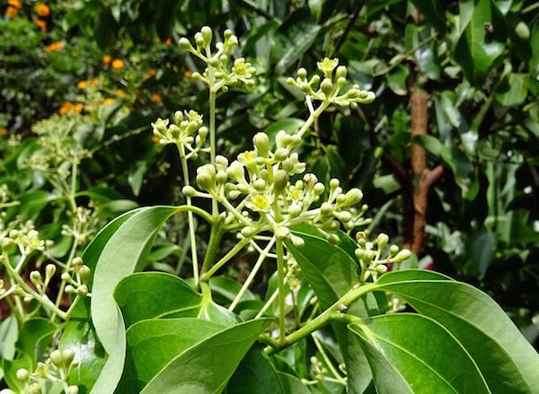 indian-bay-leaf-1707520_1280